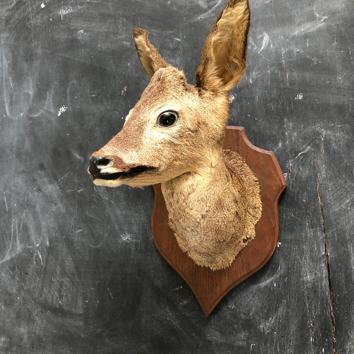 Row Deer Taxidermy