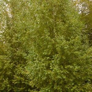 Image of Birch, Dakota Pinnacle Tree