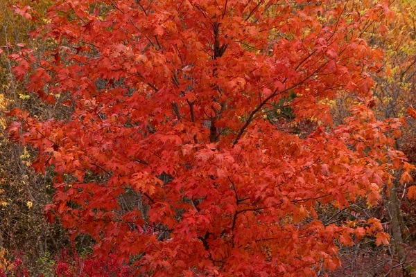 Image of Maple, Fall Fiesta (sugar)
