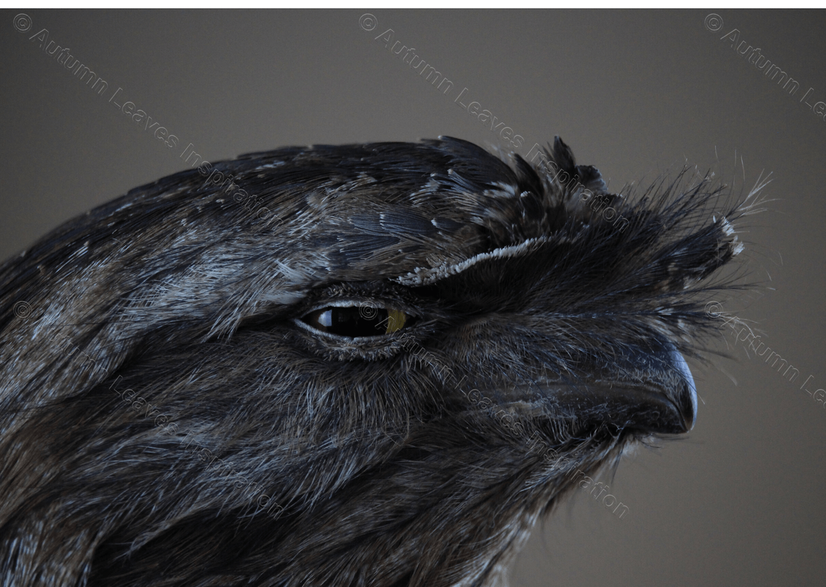 Image of B10 Tawny Frogmouth