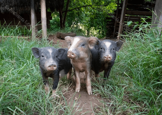 Image of A8 Three Little Pigs
