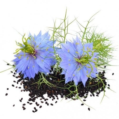 Image of Nigella