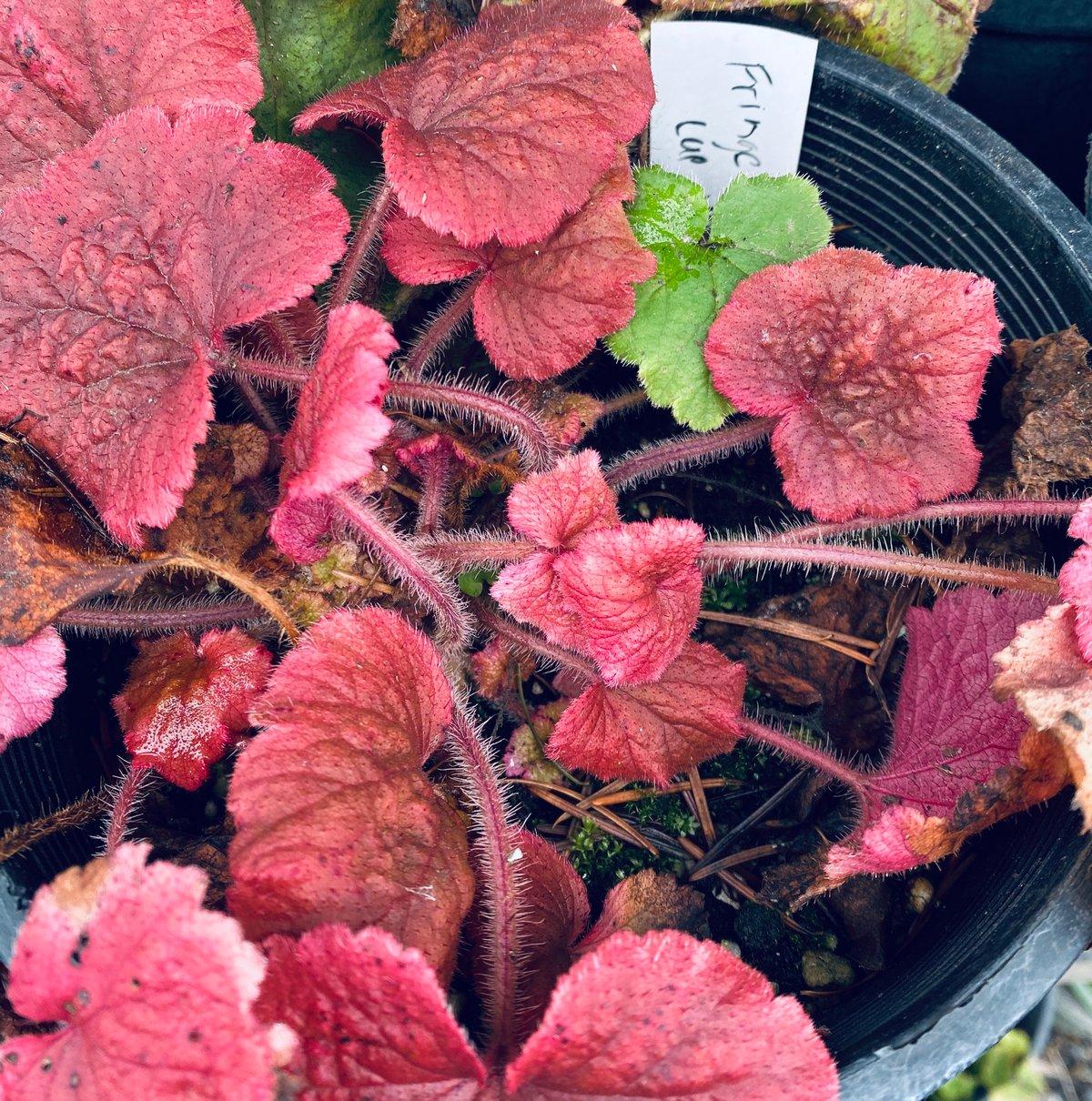 Fringecup : Tellima grandiflora