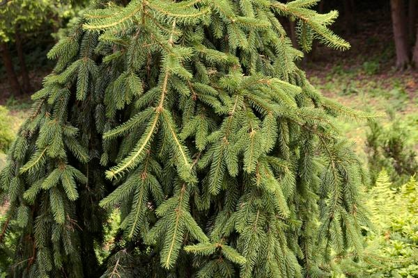 Image of Spruce, Weeping Norway