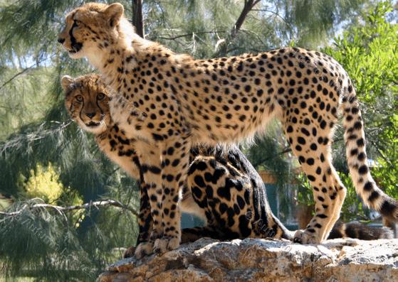 Image of A7 Cheetahs