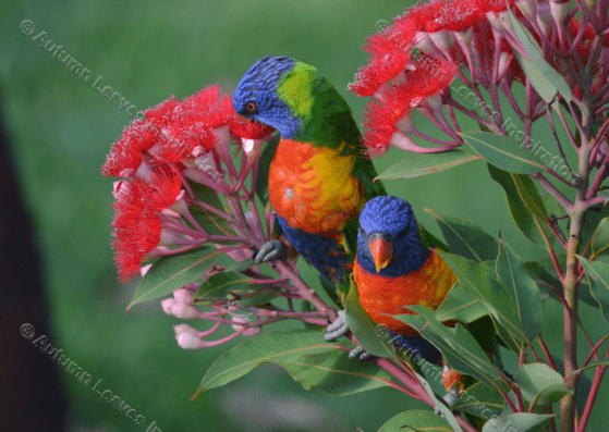 Image of B5 Lorikeets feeding