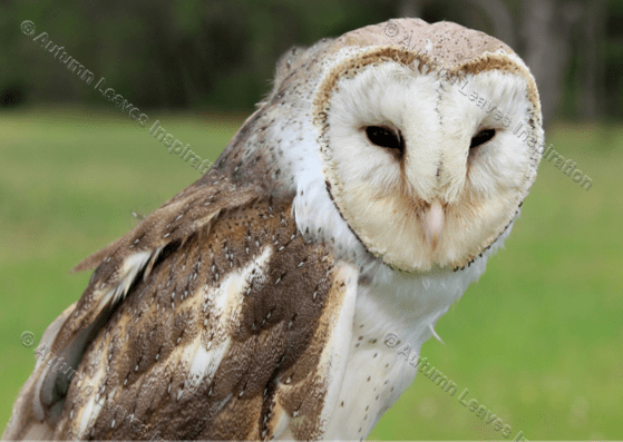 Image of B2 Australian Barn Owl