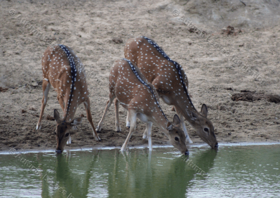 Image of A1 Three Spotted Deer
