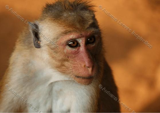 Image of A4 Monkey close up