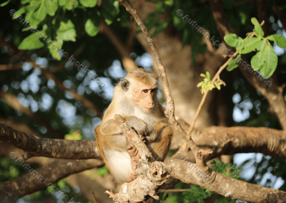 Image of A5 Monkey in tree