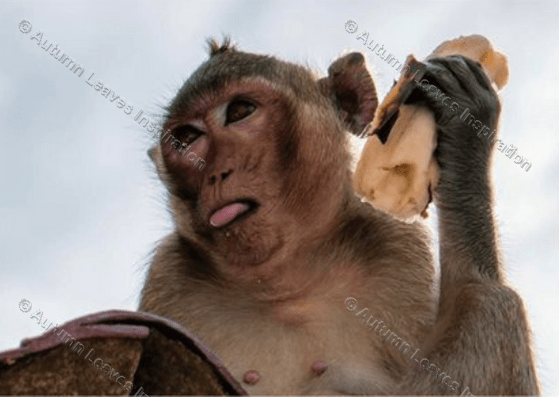Image of A11 Cheeky monkey