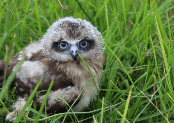 Image of B1 Boobook Owl Chick