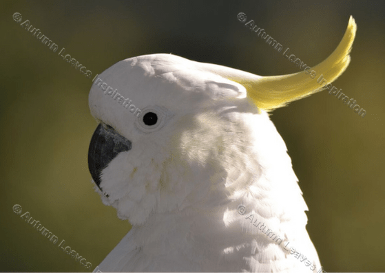 Image of B4 Cockatoo