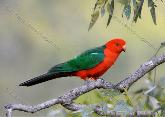 Image of B7 King Parrot