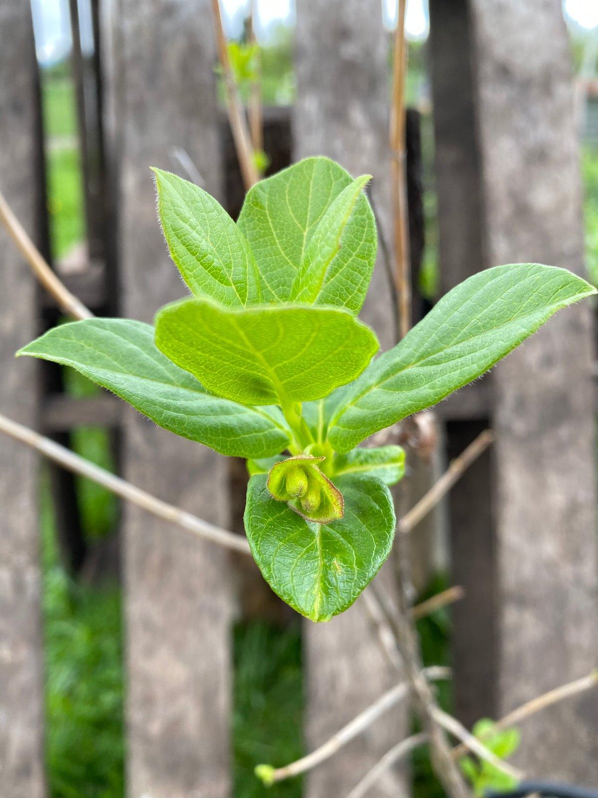 Twinberry : Lonicera involucrata