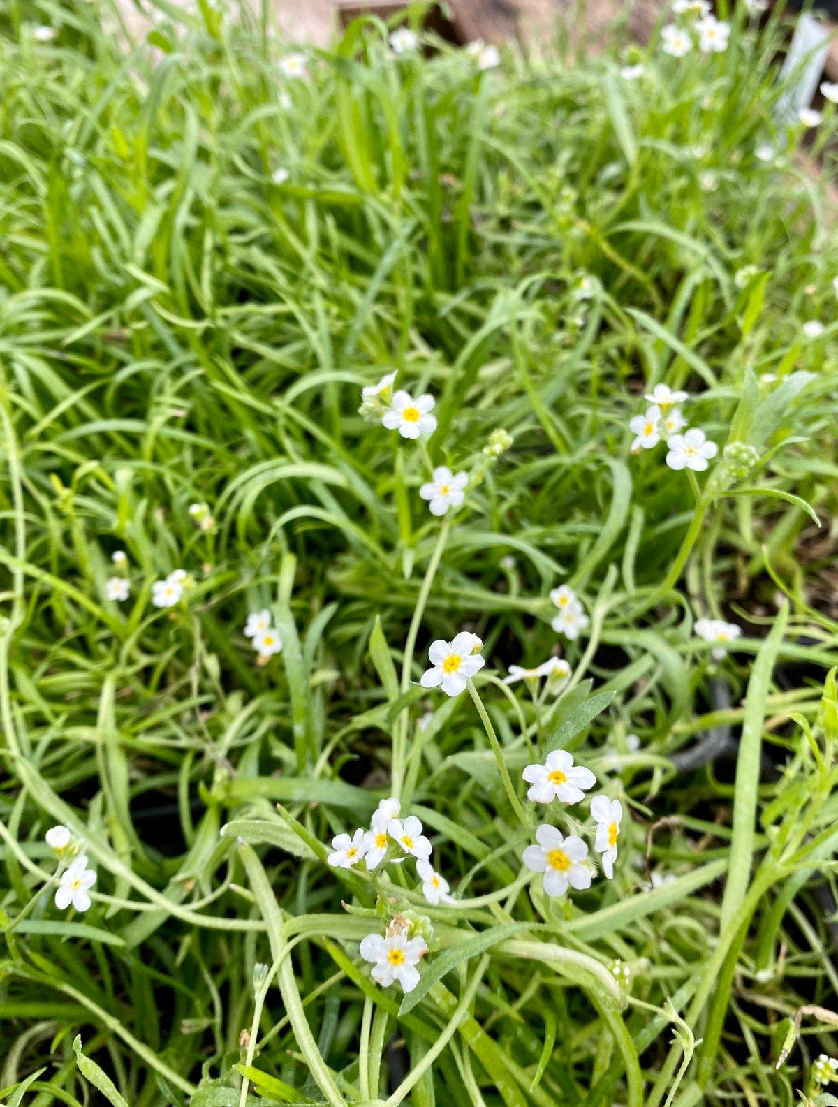 Popcorn Flower : Plagiobothrys sp.