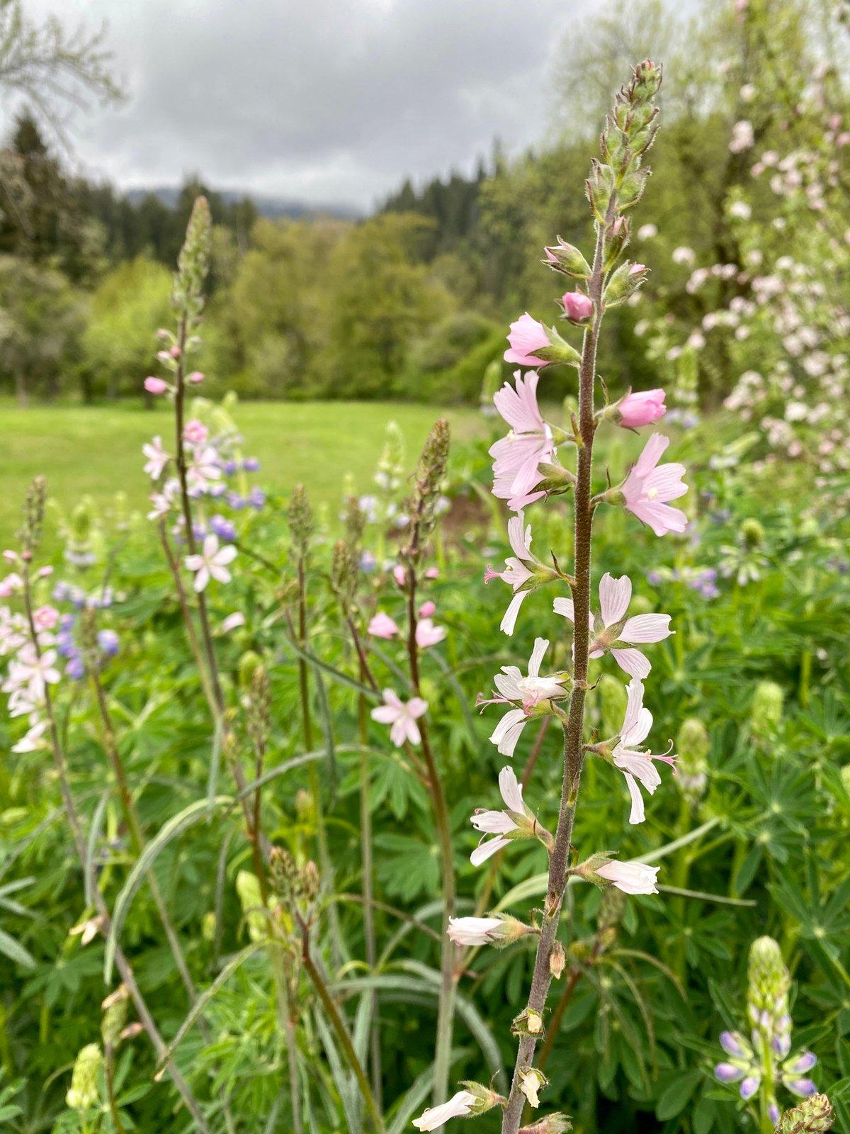 Meadow Checkermallow : Sidalcea campestris