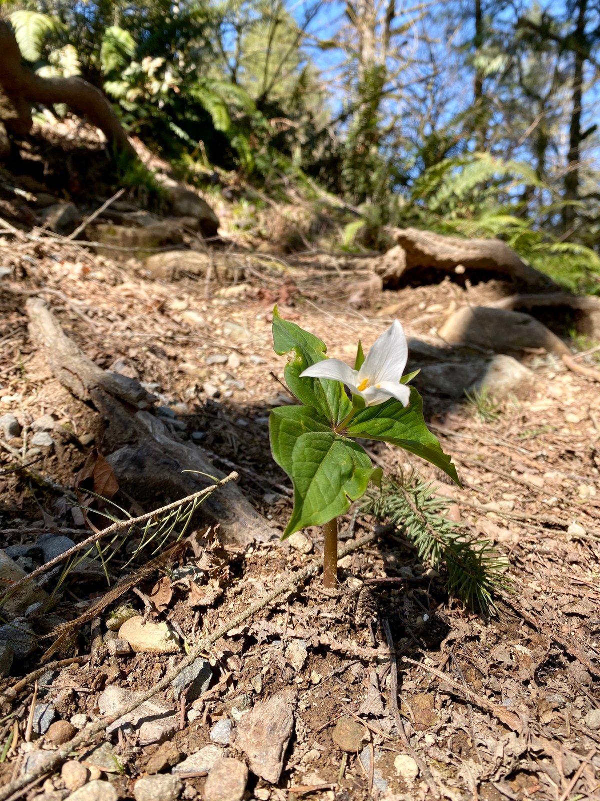 Wake Robin Trillium : Trillium ovatum