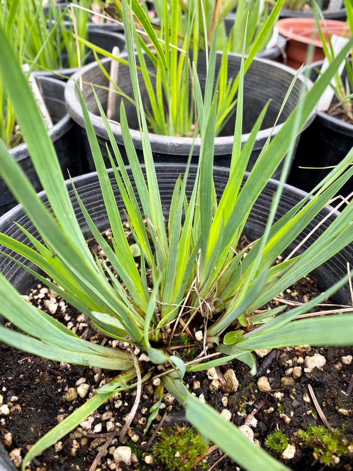 Blue-eyed Grass : Sisyrinchium bellum
