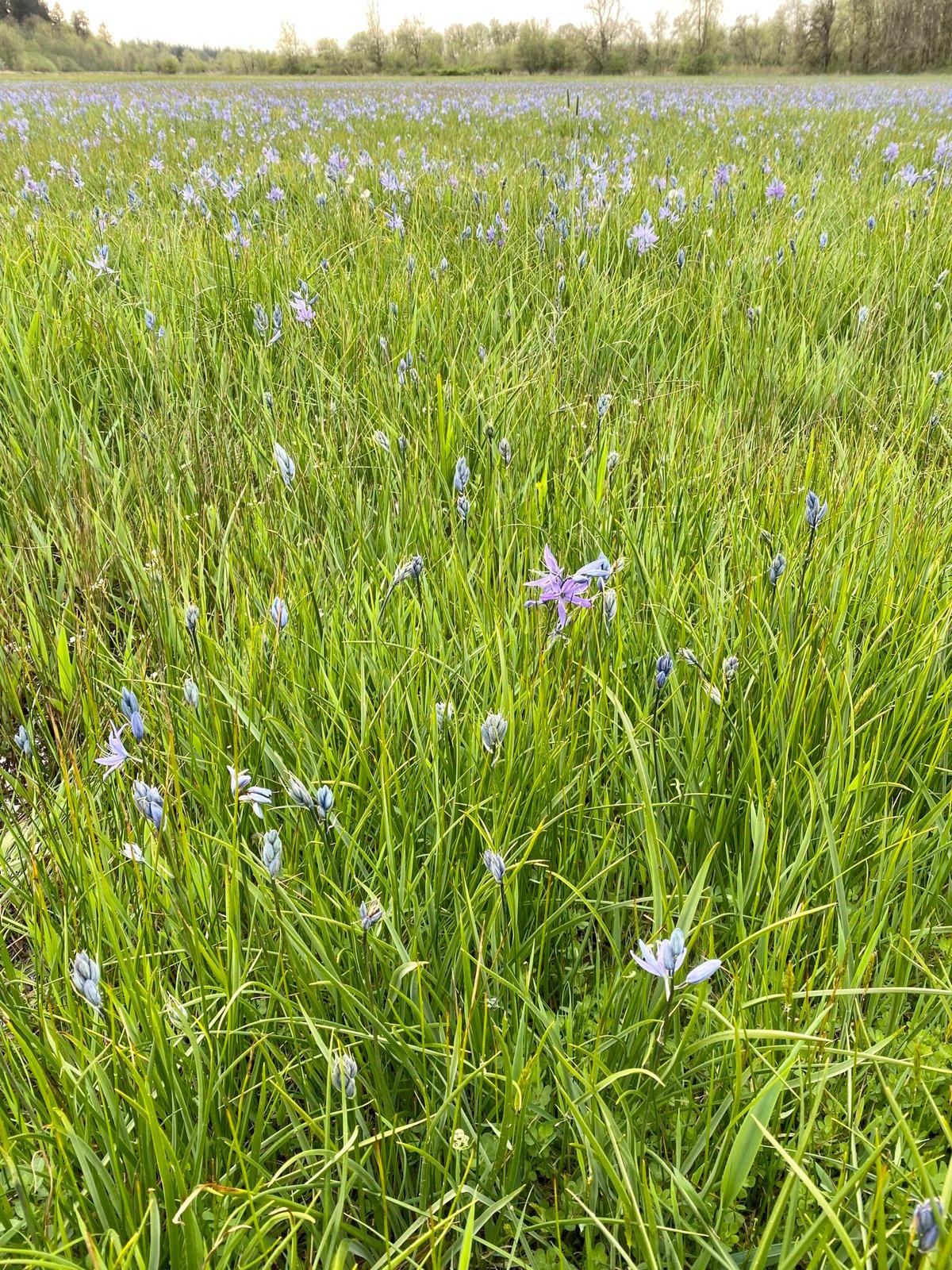 Camas Lily : Camassia quamash