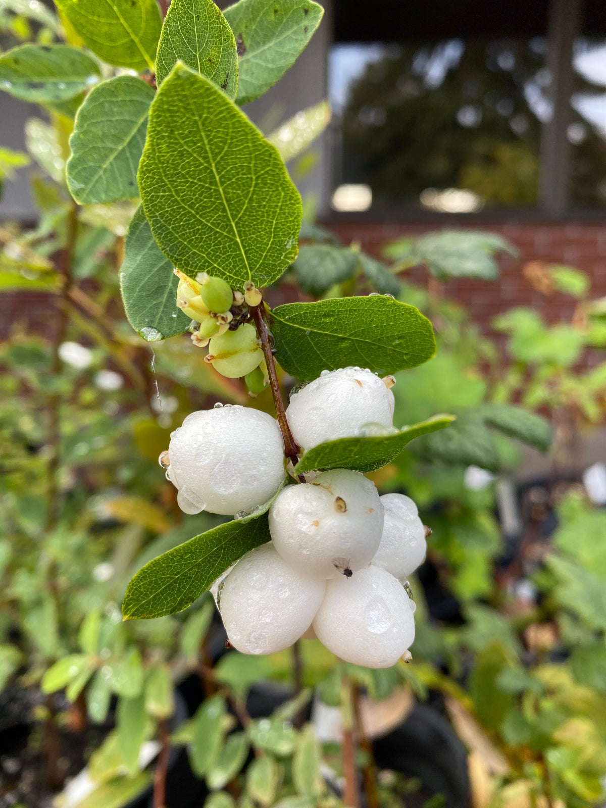 Snowberry : Symphoricarpos albus