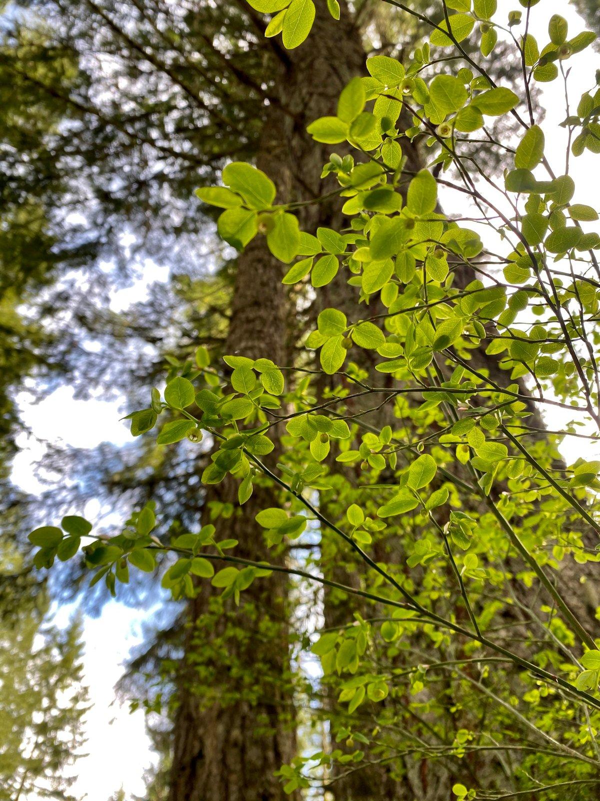 Red Huckleberry : Vaccinium parvifolium