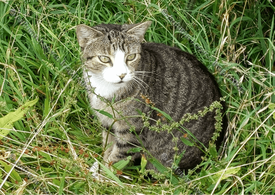 Image of A15 Cat in grass