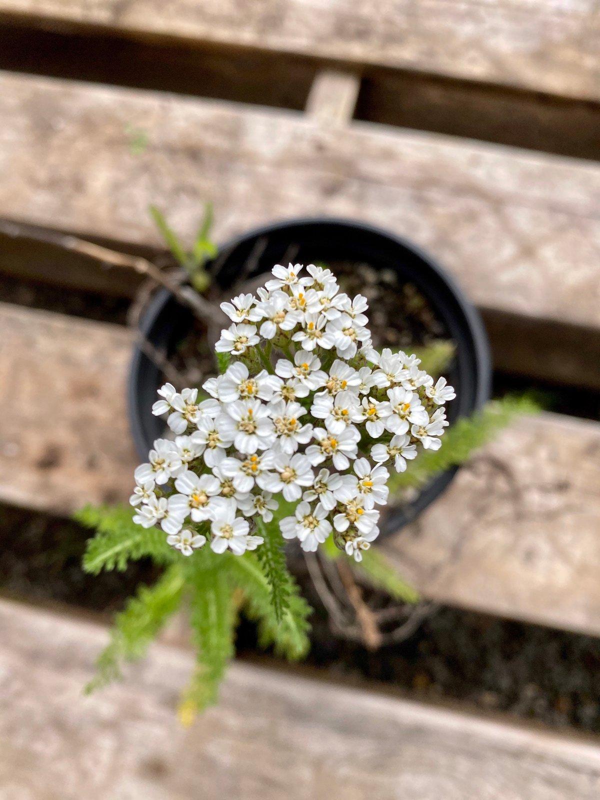 Yarrow : Achillea millefolium