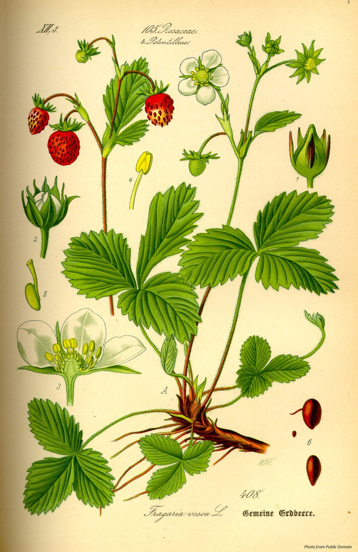 Native Strawberry : Fragaria vesca