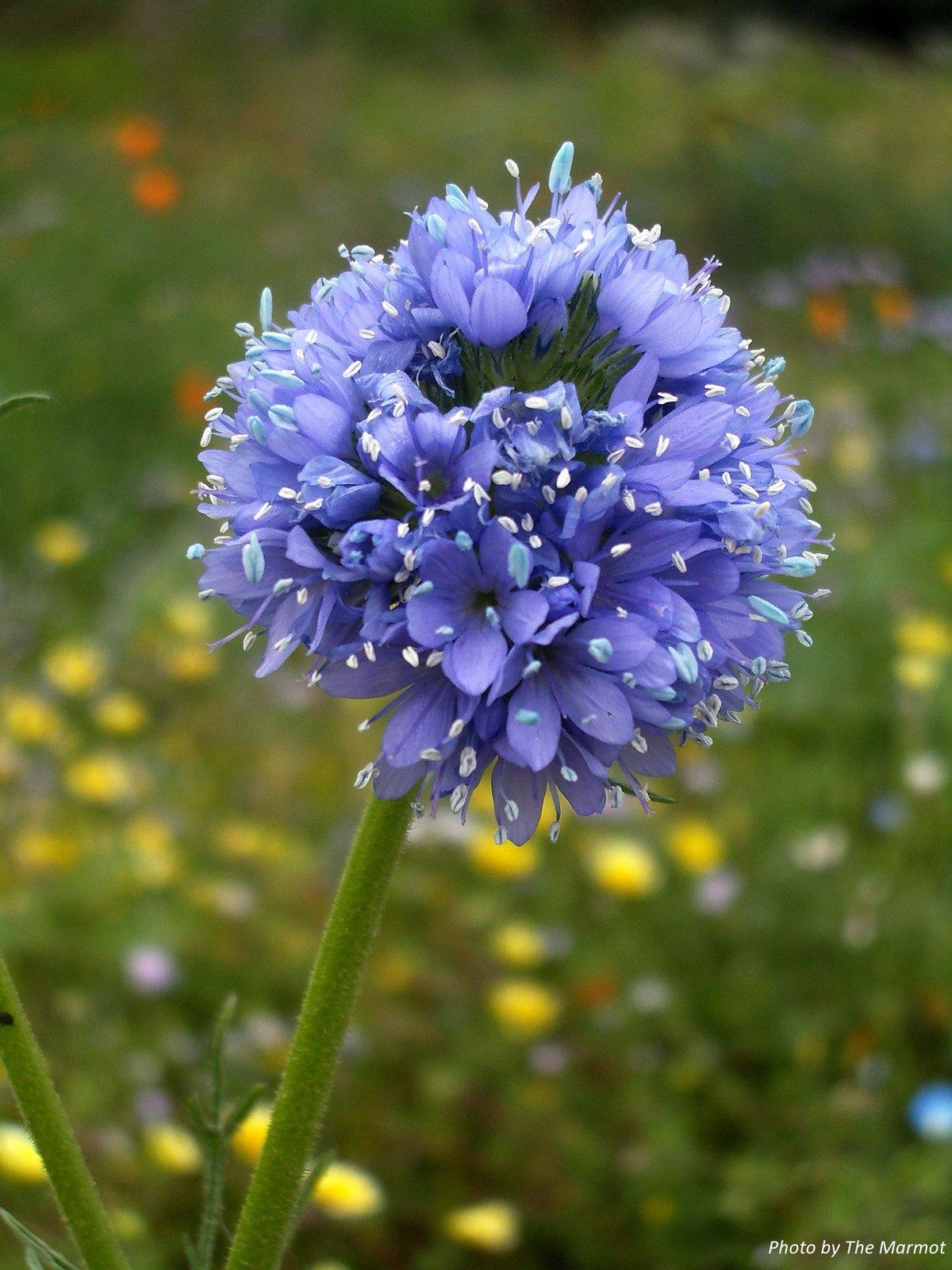 Blue Field Gilia : Gilia capitata