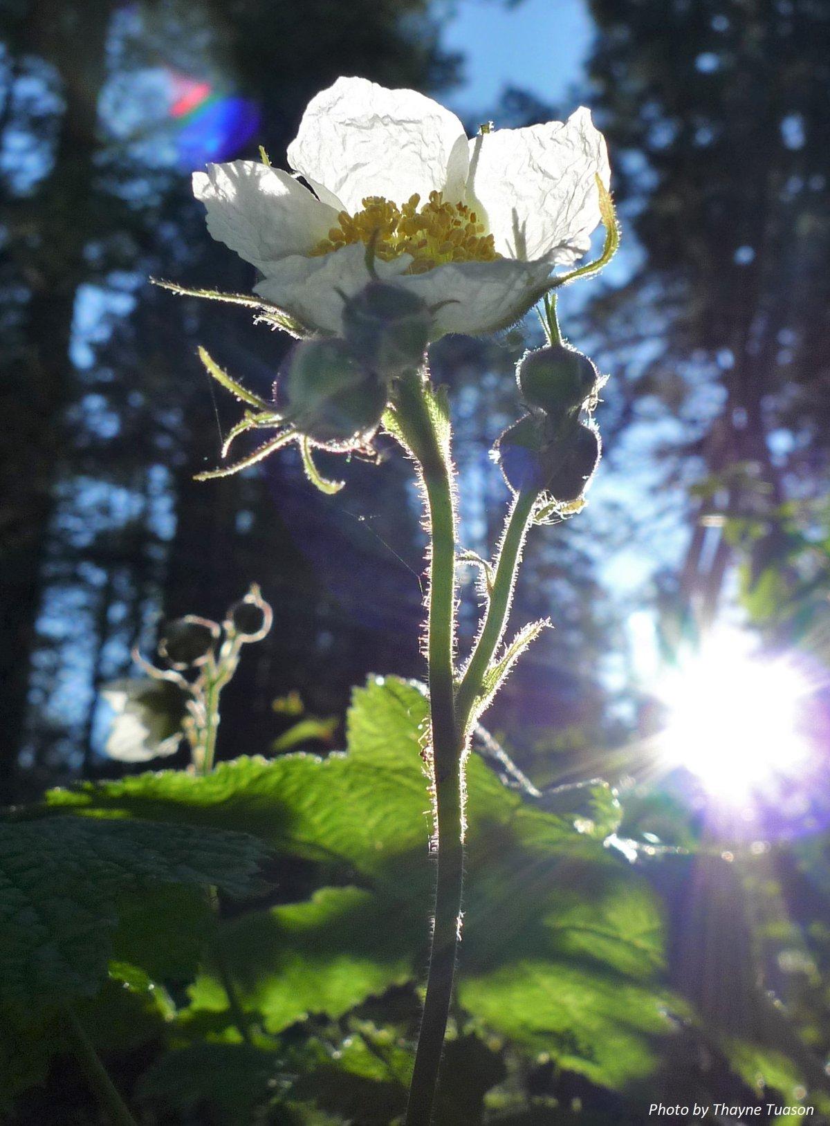 Thimbleberry : Rubus parviflorus