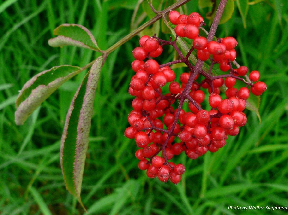 Red Elderberry : Sambucus racemosa