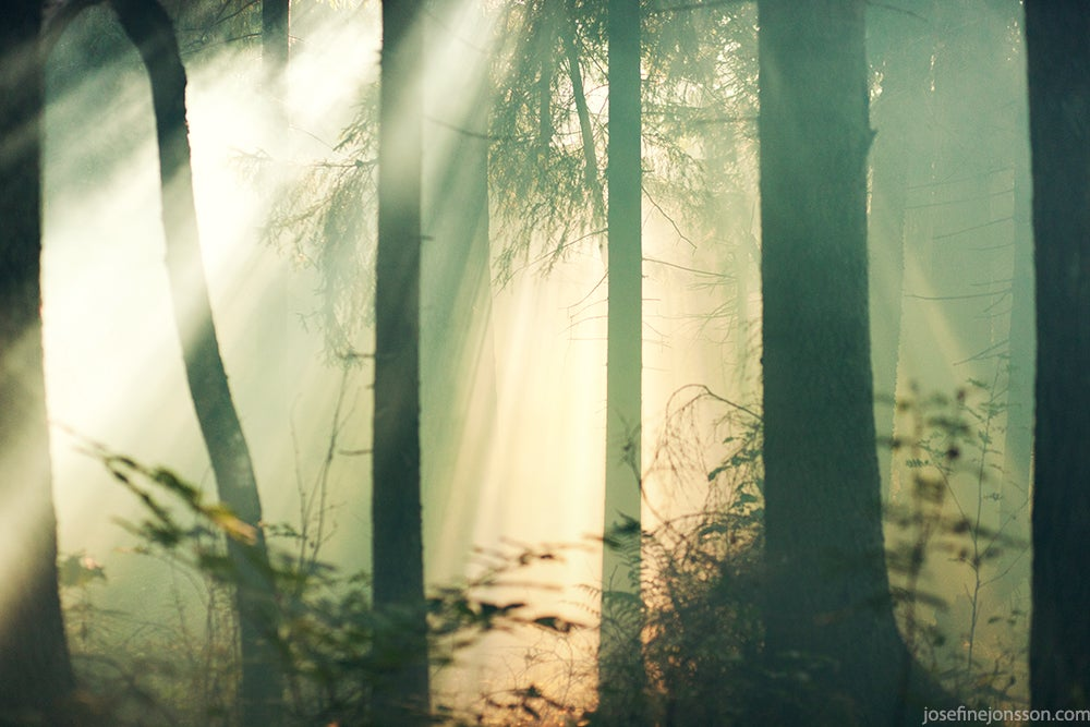 Image of High quality print Forest in fog 50x70 or 70x100cm