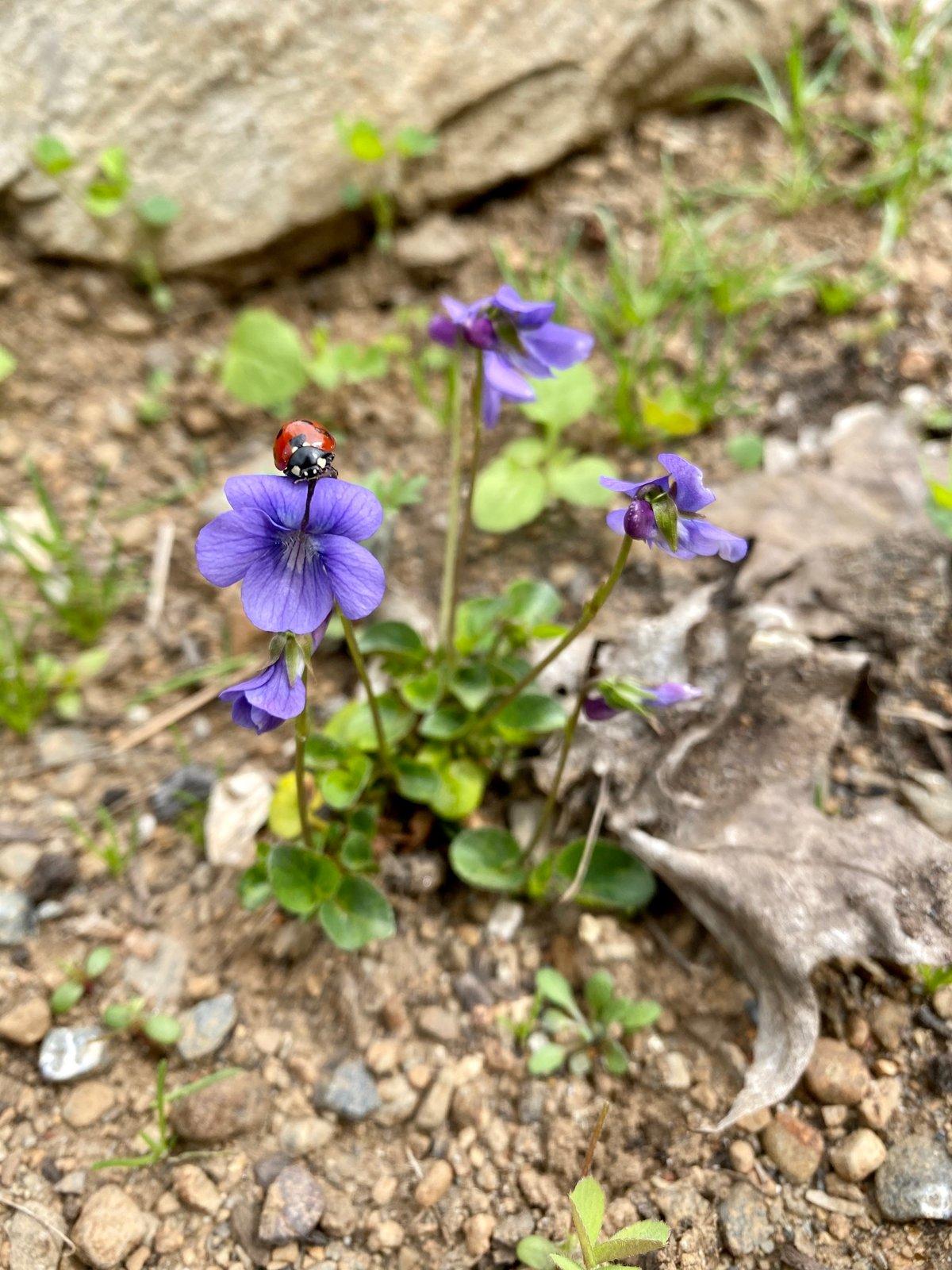 Early Blue Violet : Viola adunca