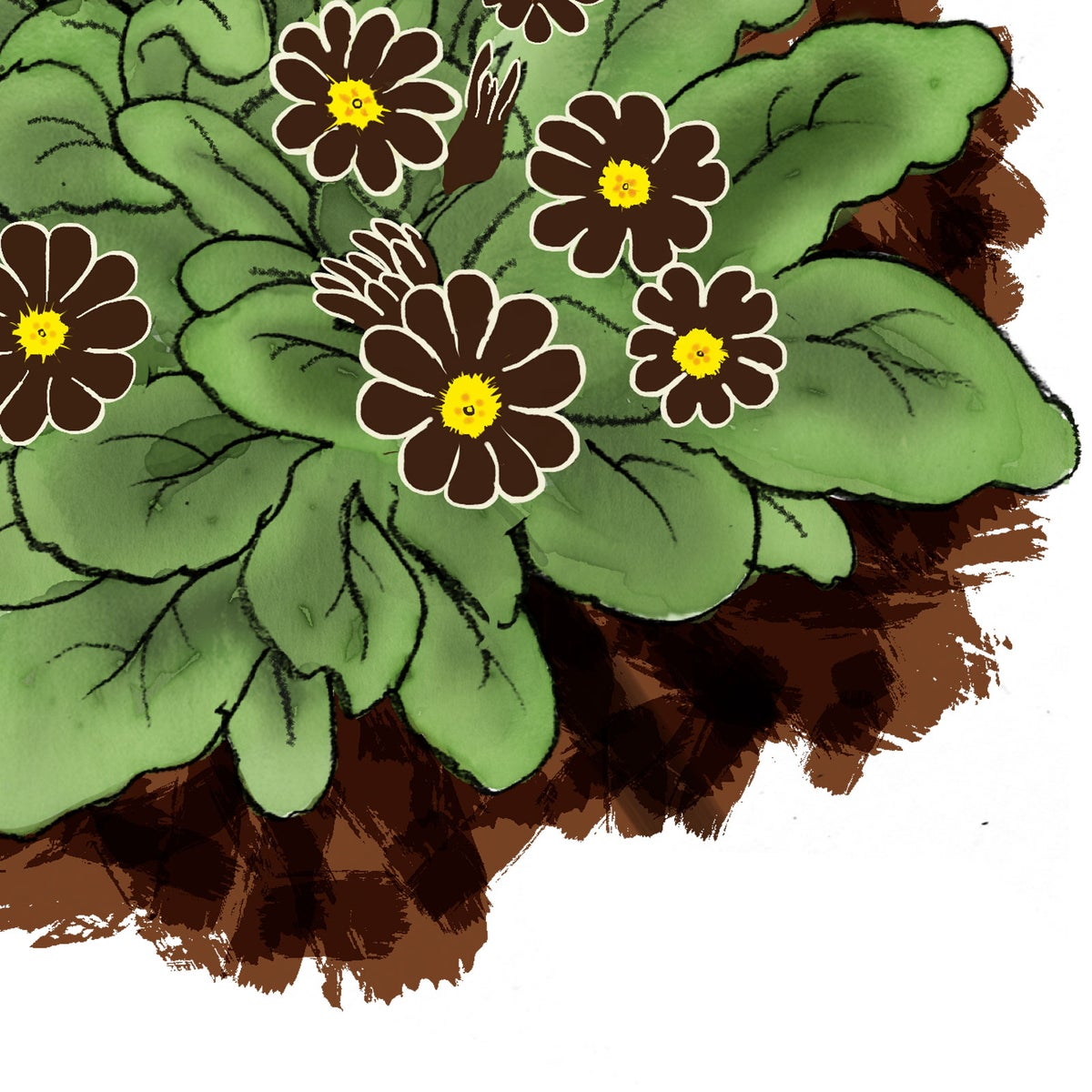 Image of Auricula