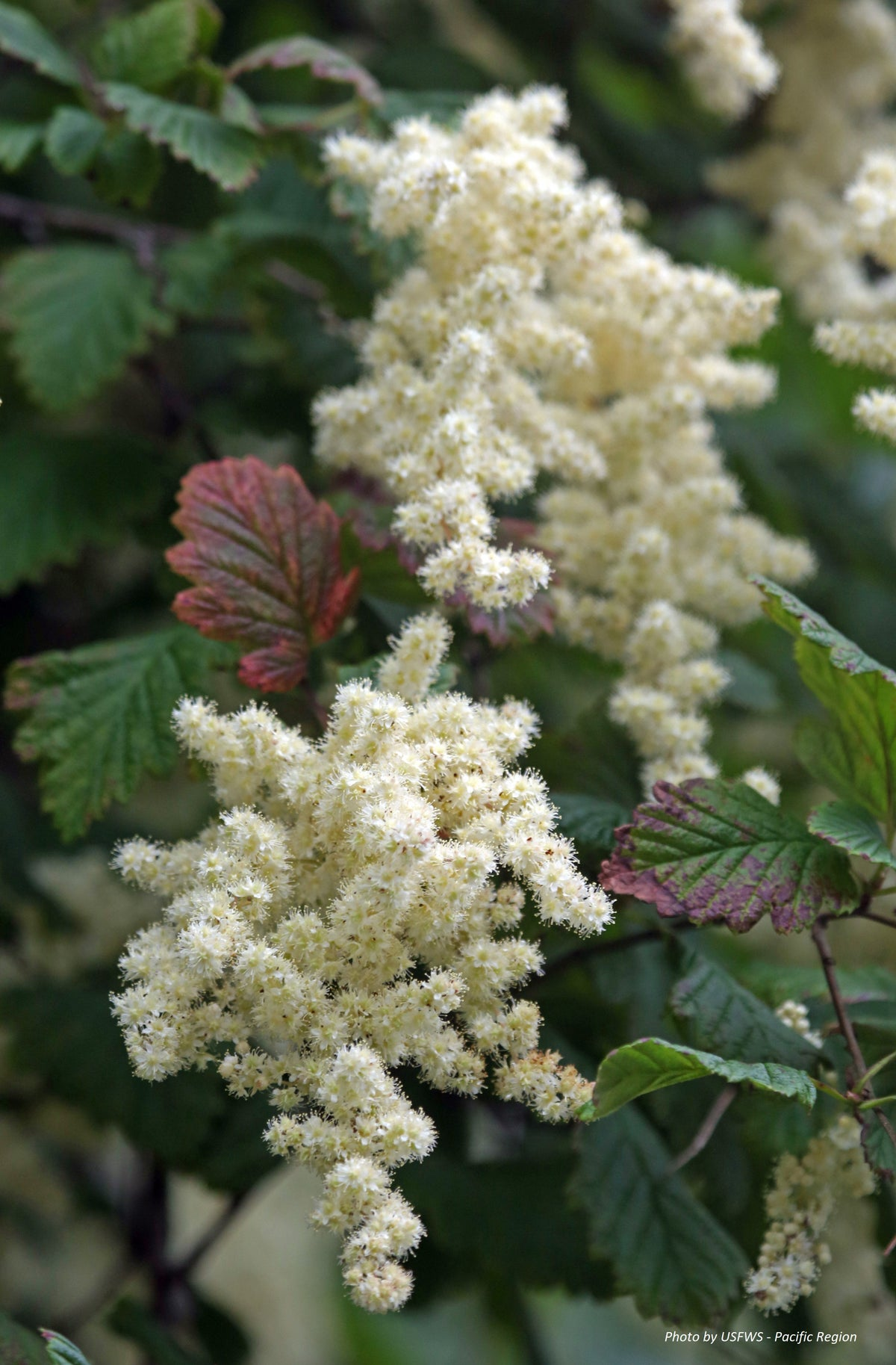 Oceanspray : Holodiscus discolor