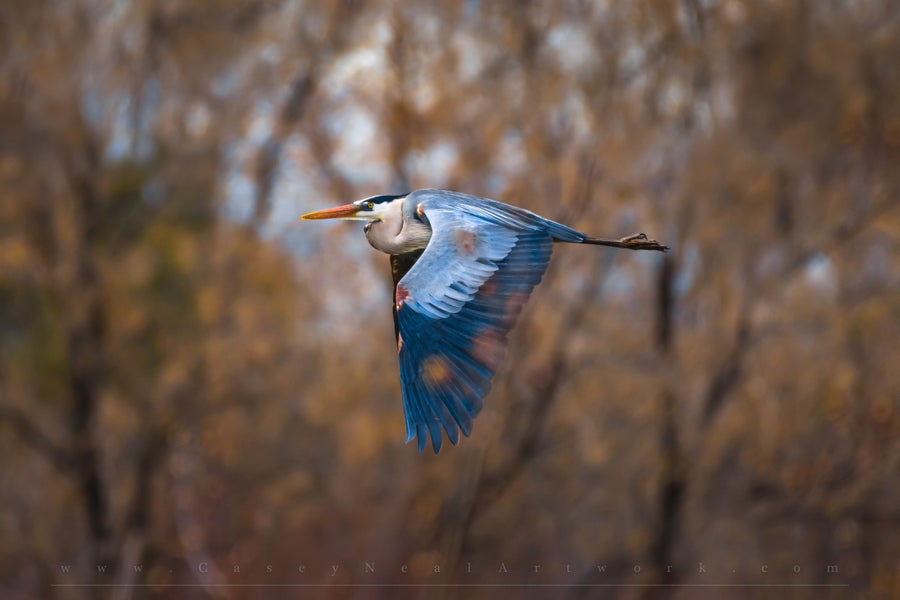 Image of Great Blue Heron
