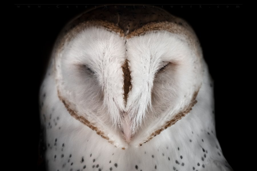 Image of Blind Barn Owl
