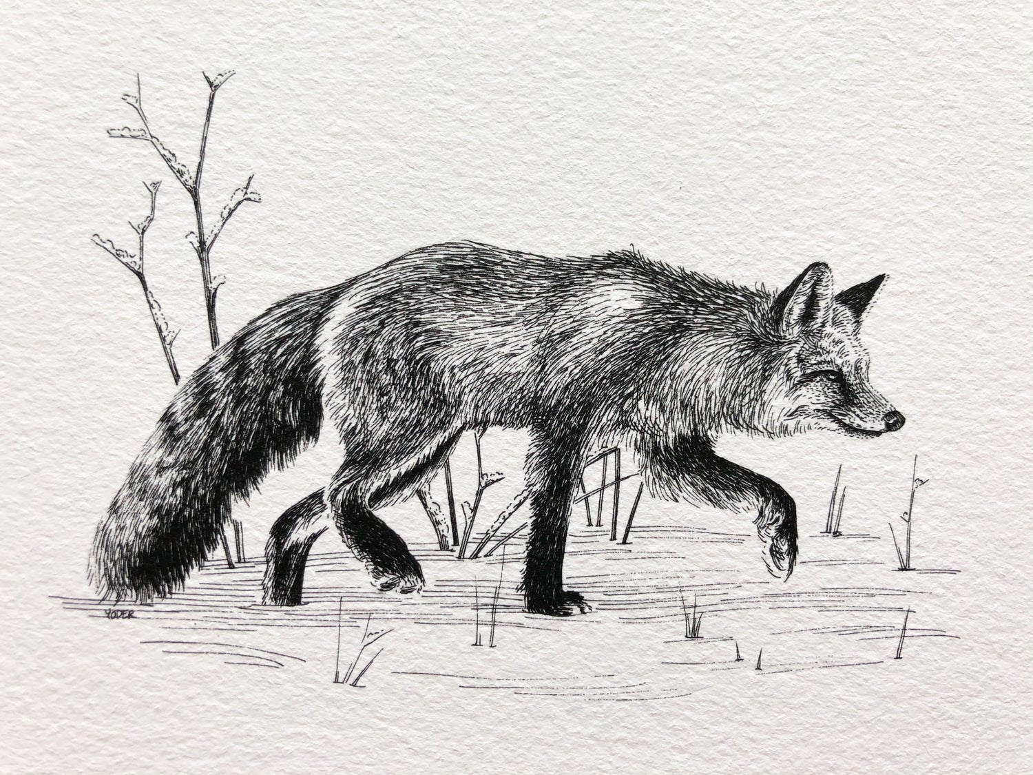 Image of Red Fox—Signed Fine Art Print