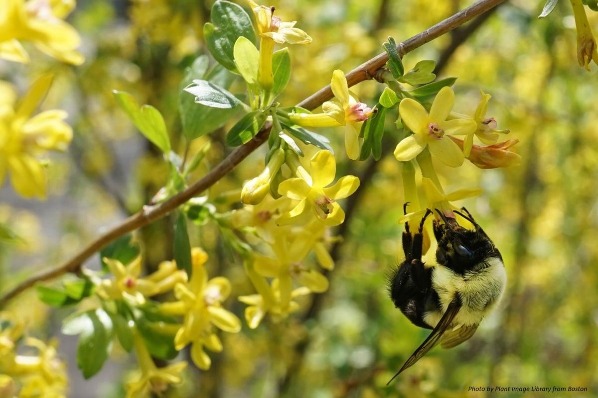 Golden Currant : Ribes aureum