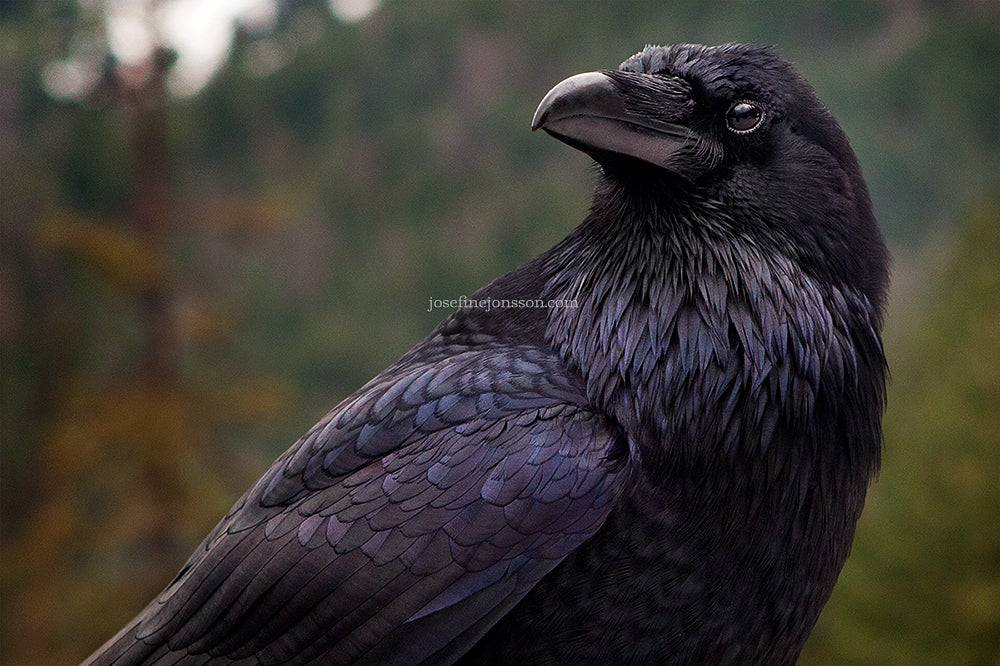 Image of High quality print raven looking 50x70 or 70x100cm