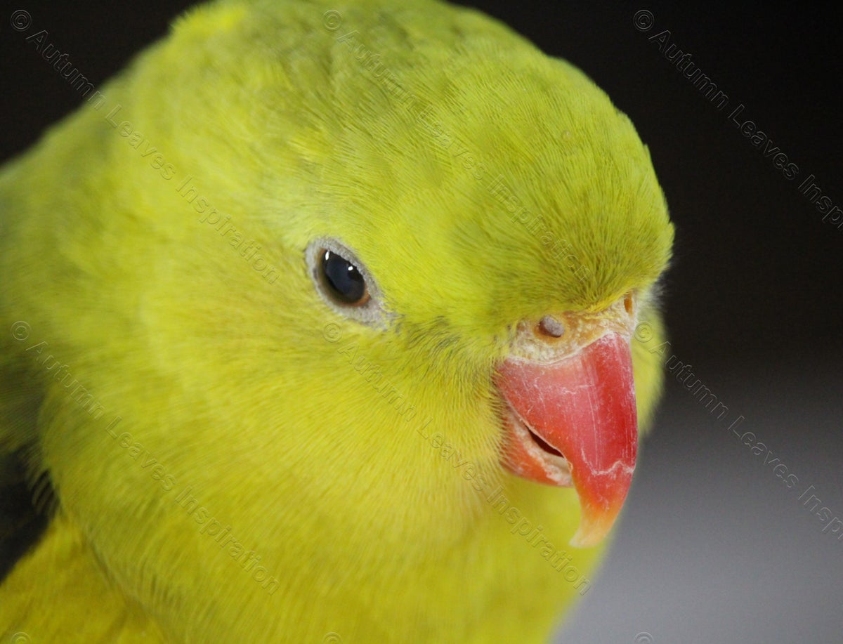 Image of B12 Regent Parrot - NEW!