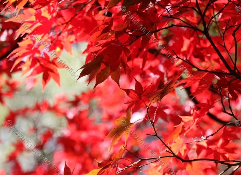 Image of N10 Red Autumn Leaves