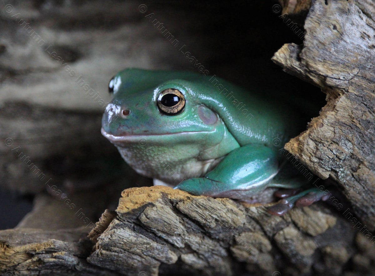 Image of A19 Australian Green Tree Frog