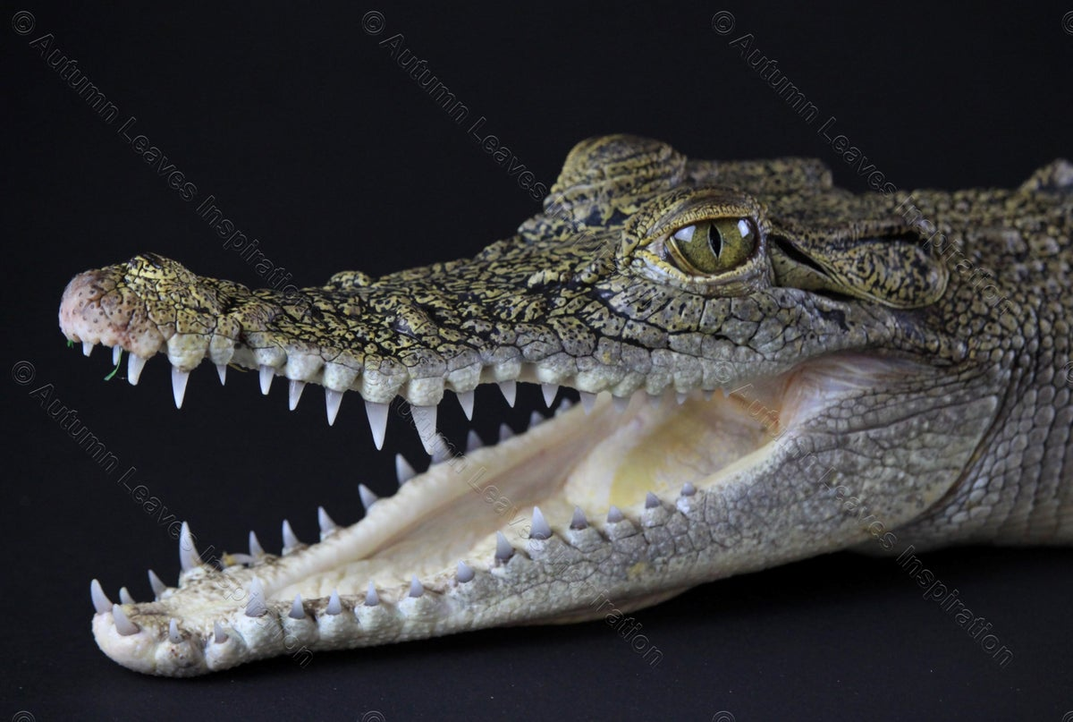 Image of A22 Baby Saltwater Crocodile - NEW!