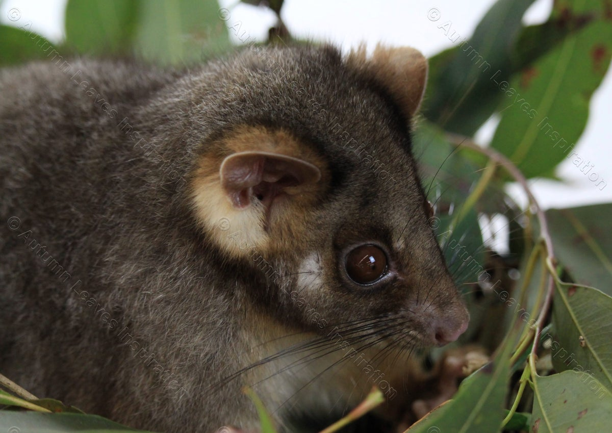 Image of A21  Possum