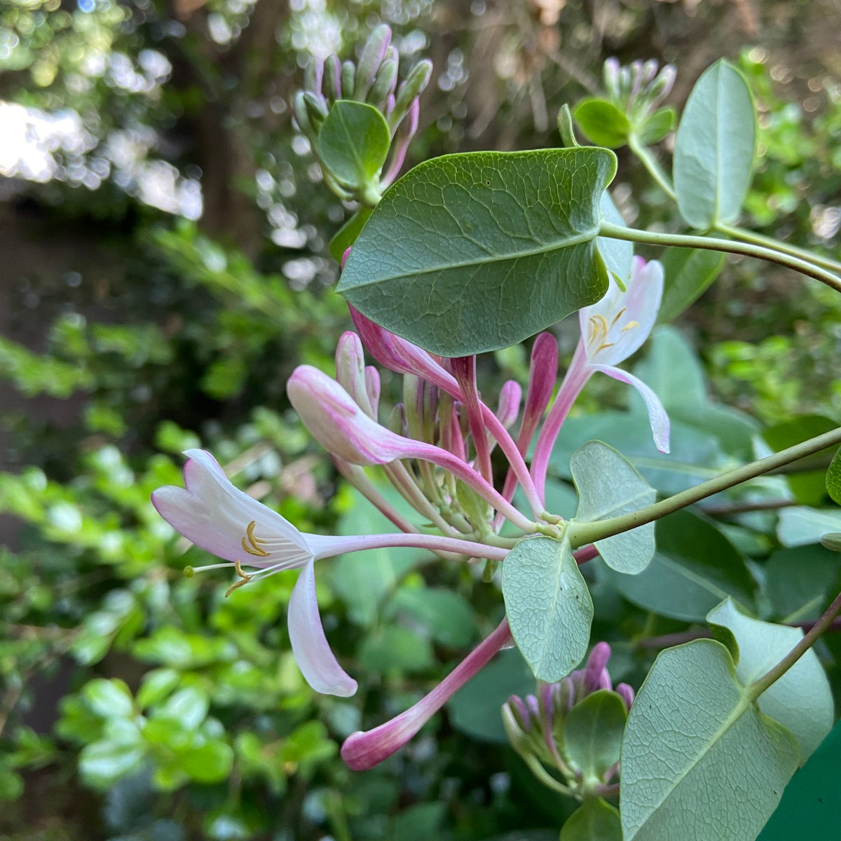 Image of Pink Honeysuckle - Spring 2020 LTD