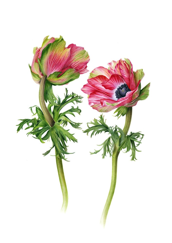 """Falling In Love"". Fine art print of an anemone watercolor painting."