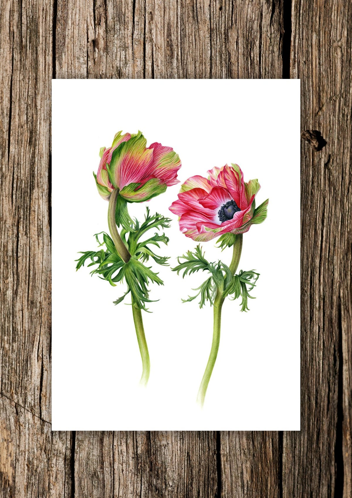 """""""Falling In Love"""". Fine art print of an anemone watercolor painting."""