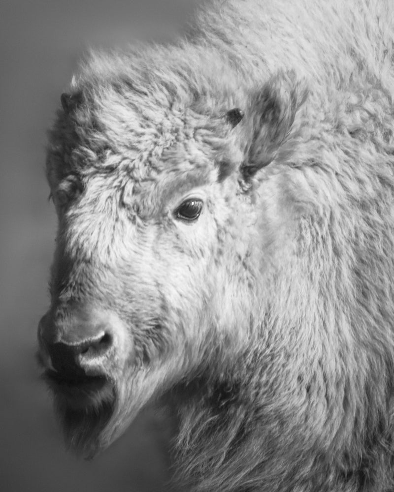 Image of White Buffalo